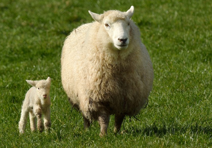 bigstock-Mother-Sheep-And-Her-Lamb-Look-97964471